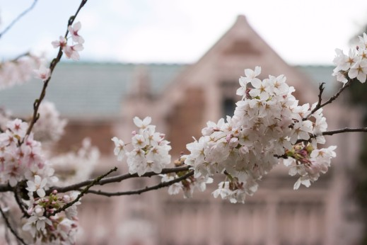 Cherry blossoms on the UW Quad. Katherine B. Turner/ UW