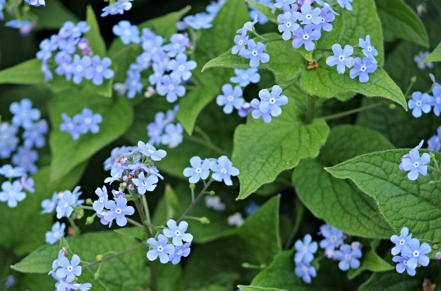 forget-me-not-2252480_1920.jpg