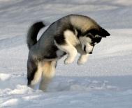 husky-pounce