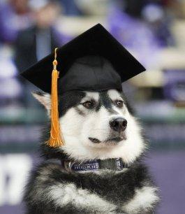 husky-grad-cap2